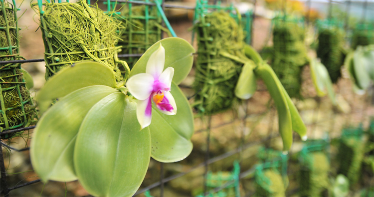 One of the orchids found at the Gunung Jerai Flora Sanctuary managed by The Regency Jerai Hill Resort
