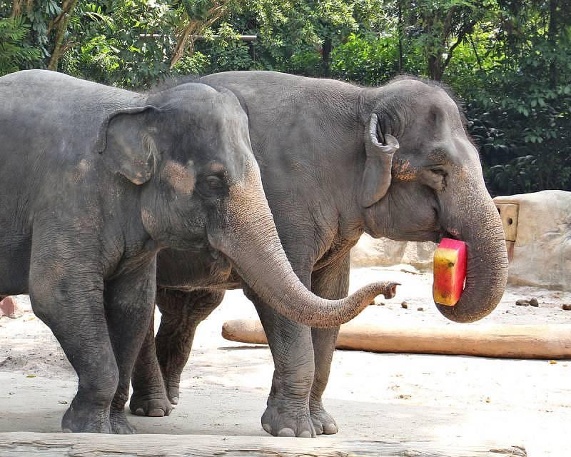 Singapore Zoo - Asian elephants