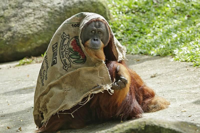 Singapore Zoo - Orang utan