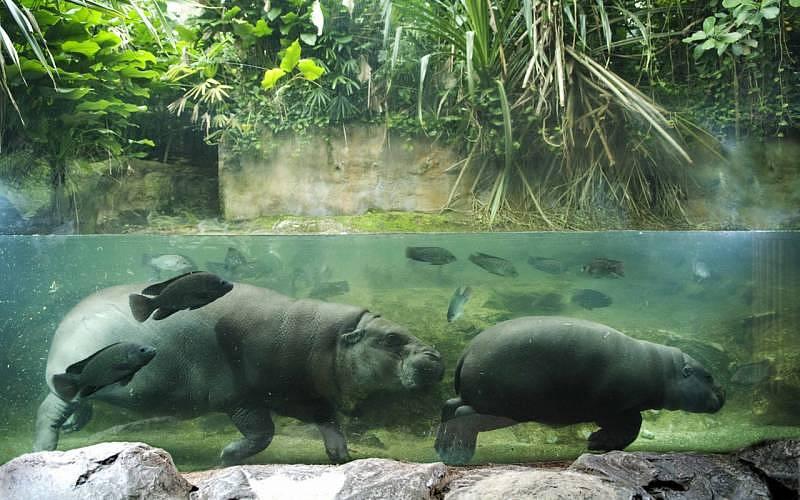 Singapore Zoo - Pygmy hippo