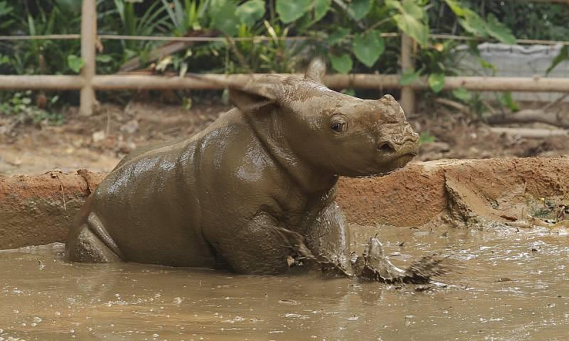 Singapore Zoo - White rhino