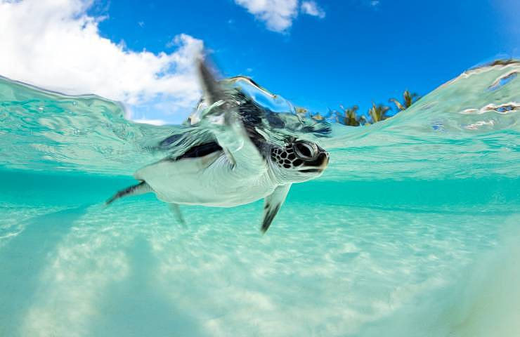 Endangered Baby Green Sea Turtle