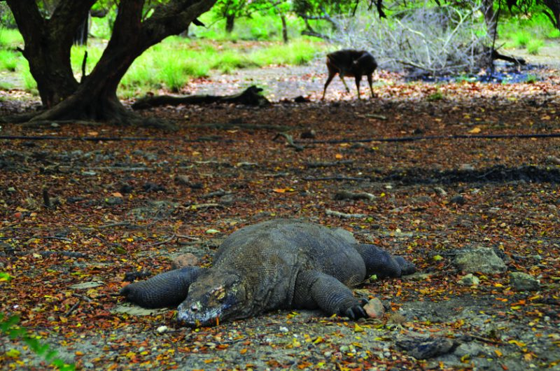 As an ambush predator, one should never underestimate a static komodo dragon that has top speed of 12.4 miles per hour