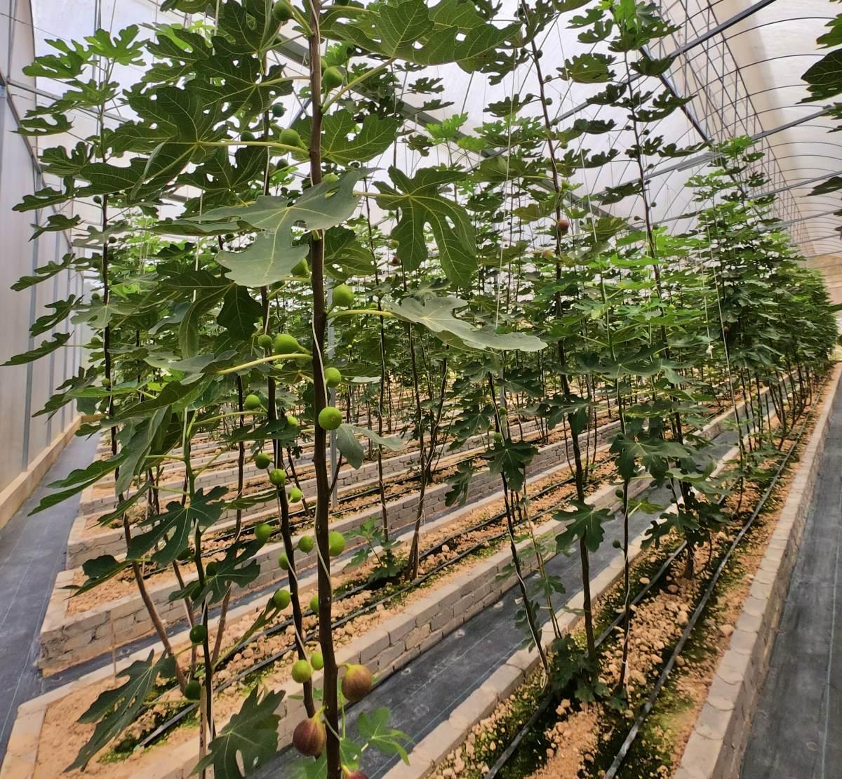 Fig farm at Janda Baik