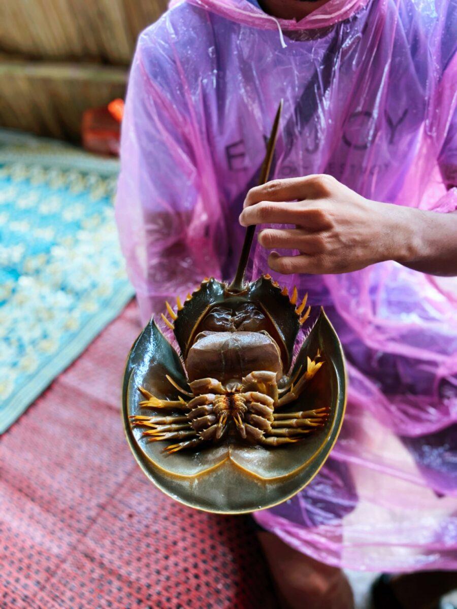 At Linting Wetland, visitors get to look at horseshoe crab up close